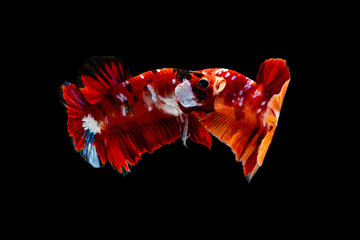 Multi color Siamese fighting fish(half moon  Pla-kad),fighting fish,Betta splendens,on black background with clipping path