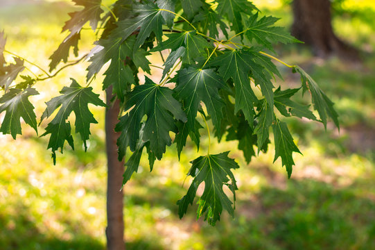 Young silver maple (Acer saccharinum) leaves in the park on a sunny spring day