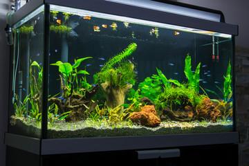 fresh water aquarium with cardinal tetra fish