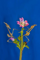 Foto op Canvas Vlinder Close up of pair of Beautiful European mantis ( Mantis religiosa )