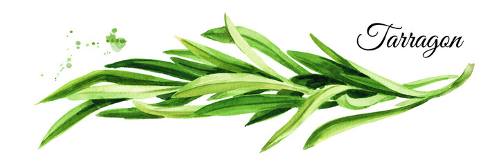 Sprig of fresh green tarragon. Hand drawn watercolor illustration, isolated on white background