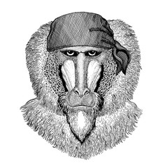 Monkey, baboon, ape. Wild animal wearing pirate bandana. Brave sailor. Hand drawn image for tattoo, emblem, badge, logo, patch