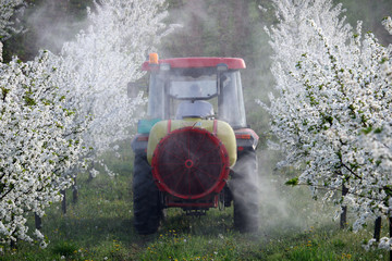 tractor sprays insecticide in cherry orchard in spring agriculture