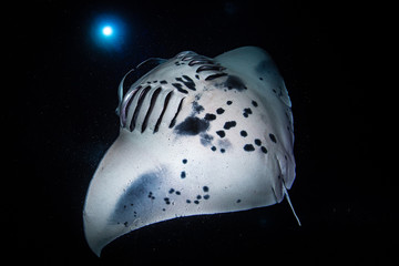 Fototapete - Night Dive with Manta Rays in Kona, Hawaii