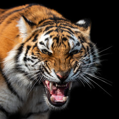 Angry tiger portrait isolated on black background