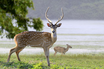 Wild Spotted deer in Yala National park