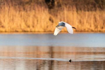 Fond de hotte en verre imprimé Dauphins Egret in flight