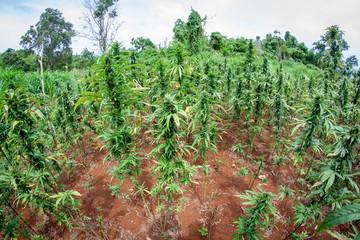 Hanf Cannabis Marihuana Pflanzen Feld: Biologischer outdoor  Anbau