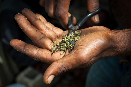 getrocknetes Hanf Cannabis Marihuana wird geschnitten für den Konsum mittels Joint, Blunt, Zigarette