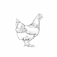 Huhn, Nutztier