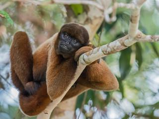 An adult common woolly monkey (Lagothrix lagothricha), in the trees along the Yarapa River, Nauta, Peru, South America