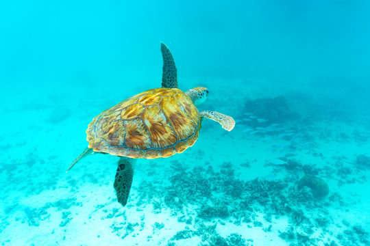 Sea turtle floating underwater over coral reef, Mauritius
