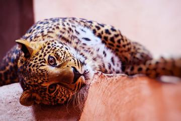 Wall Mural - Leopard, beautiful portrait. Animal world. Big cat.