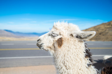 Llama close-up in the heights of Tucumán, Argentina