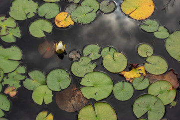 Keuken foto achterwand Waterlelies water lily in the pond