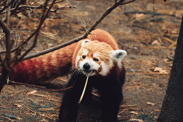 Tuinposter Panda red panda eating bamboo