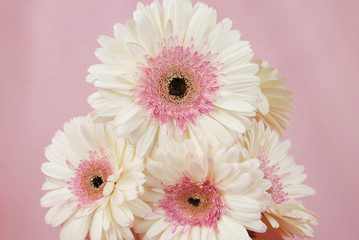 Door stickers Gerbera Floral arrangement of white Gerber daisy flowers in a clear vase isolated on a pink fabric background