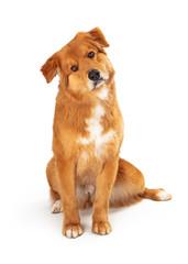 Friendly brown dog sitting looking forward