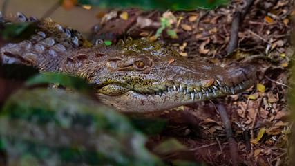 Autocollant pour porte Crocodile American Crocodile Female Smiling Teeth Close