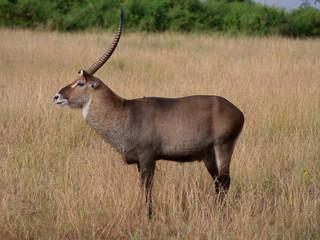 Wall Murals Antelope Antilope Horn Afrika Safari Wild
