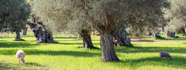 Ingelijste posters Olijfboom olive grove on the island of Mallorca