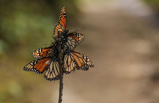 Monarch butterflies are seen at El Rosario sanctuary for monarch butterflies in the western state of Michoacan, near Ocampo