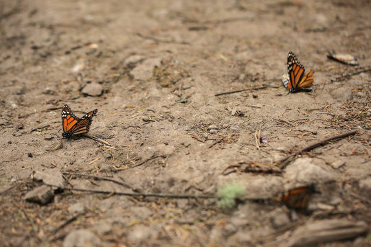 Monarch butterflies are seen on the ground at El Rosario sanctuary for monarch butterflies in the western state of Michoacan, near Ocampo