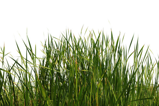 Cattail Tree tall grass isolated on a white background