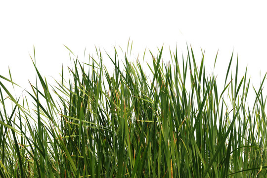 grass isolated on a white background