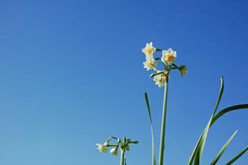 白い水仙の花と青空