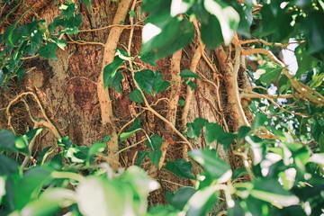 木の幹に絡みつく木蔦