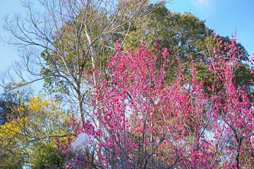 梅の木に咲く赤紫色の美しい梅の花