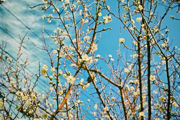 梅の木に咲く白色の美しい梅の花