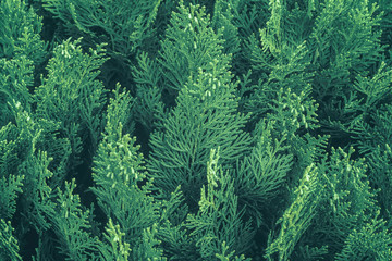 Side view of a thuja tree branch. Natural green coniferous pattern. Abstract modern trendy texture background Wall mural
