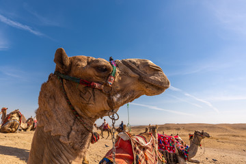 Poster Kameel エジプトのラクダ