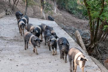 Italien,  frei laufende Schweine der Rasse Cinta Senese auf einem Bauernhof in der Nähe von Siena