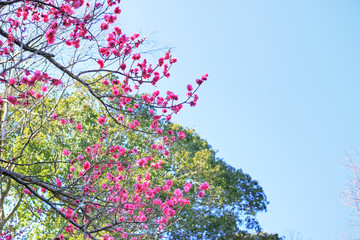 木の枝に咲く赤紫色の梅の花