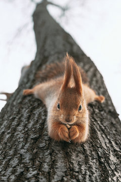 Squirrel eats nuts hanging upside down on tree