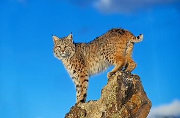 Poster de jardin Lynx LYNX ROUX BOBCAT lynx rufus