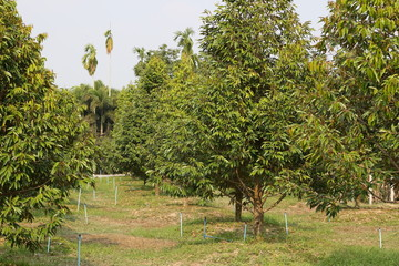 Young durian fruit trees growing on farmland in southeast Asia