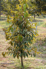 A young durian fruit tree sapling growing on farmland in southeast Asia
