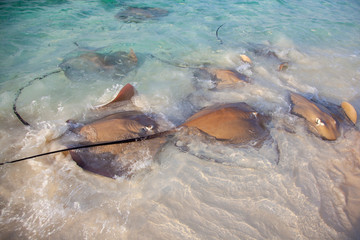 Stingrays dangerous animals on the beach at Maldives