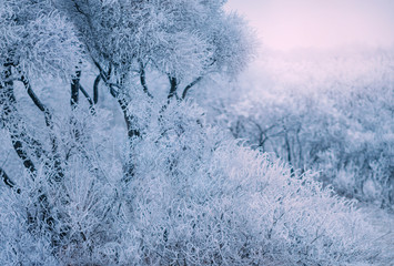 Artistic Blurred Backgdrop wild winter white nature forest tree branch frozen cold grass covered blue color frost texture snow. Eco Misty snowy day flat Sky haze fog. Free xmas space text wallpaper