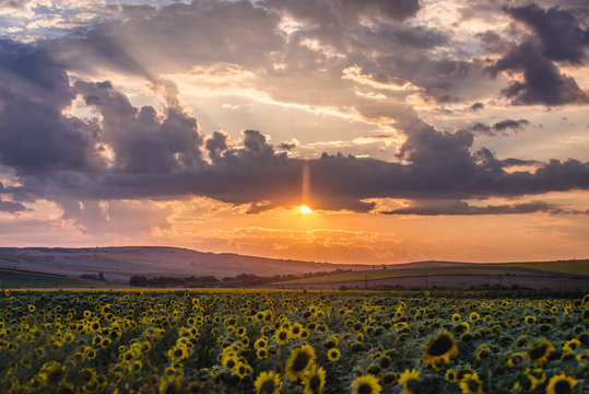 Sunset over sunflower field in rural area of Romania