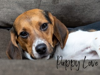 Purebred brown, white and black colored beagle puppy laying on the couch in an up close picture, with the words Puppy Love spelled out in black font.