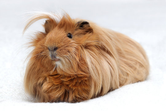 Long hair guinea pig on white background, Ginger peruvian cavy breed