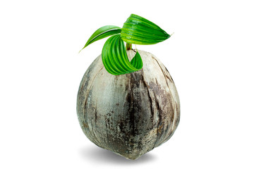 Young sprout of coconut tree grown up at the white background