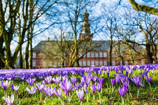 Die blühenden violetten Krokusse bei der Krokusblüte vorm Schloss in Husum
