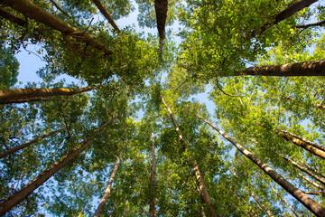 Deurstickers Bomen Eucalyptus Plantation