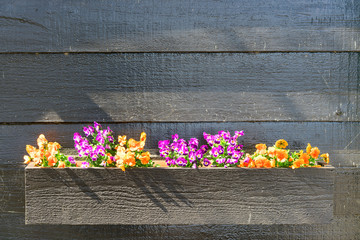 Close up of colorful pansy flower in planter box. Colorful flowers pansies on a wood background